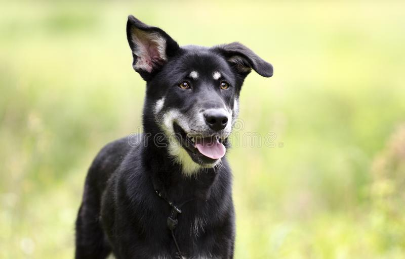 Happy Husky mix breed dog, pet rescue adoption photography. Bella is a happy female black and tan Siberian Husky and Shepherd mixed breed mutt dog with one stock photo