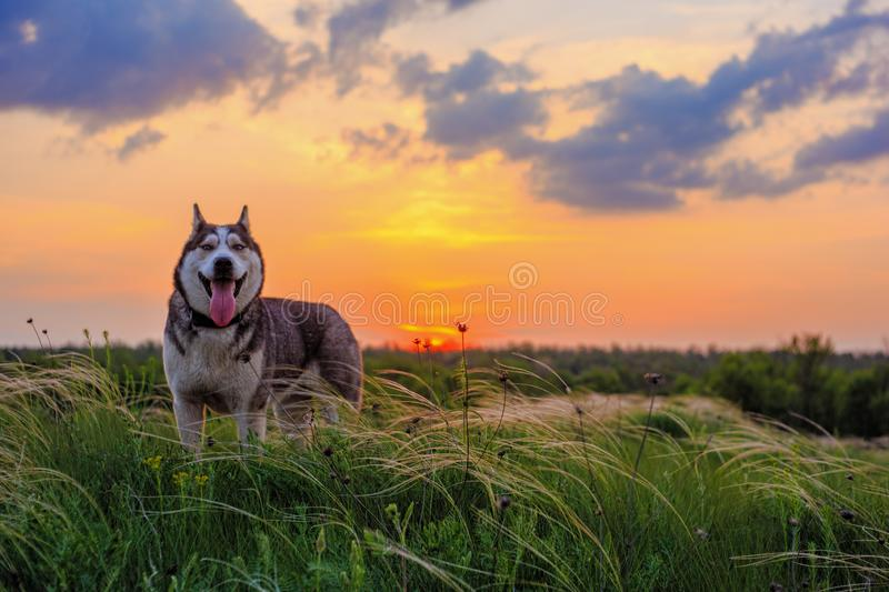 Happy husky staying on the feather grass land and looking forward to the camera. Husky dog looking forward on bright sunset cloudy sky background. Happy husky stock images
