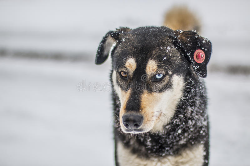 Husky in Snow royalty free stock images