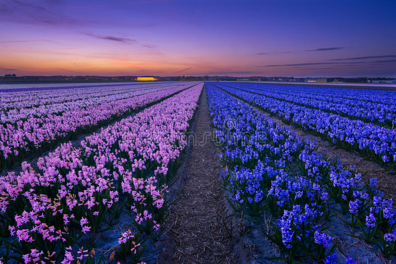 Happy Hyacinths. Oh the smell of the hyacinths! Overwhelming and poignant! Excactly like their colors! This image was taken last week on my first trip this year royalty free stock photography