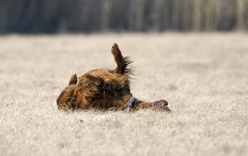 Happy dog rolling int the grass. Happy irish setter pet dog rolling int the grass in spring royalty free stock photography