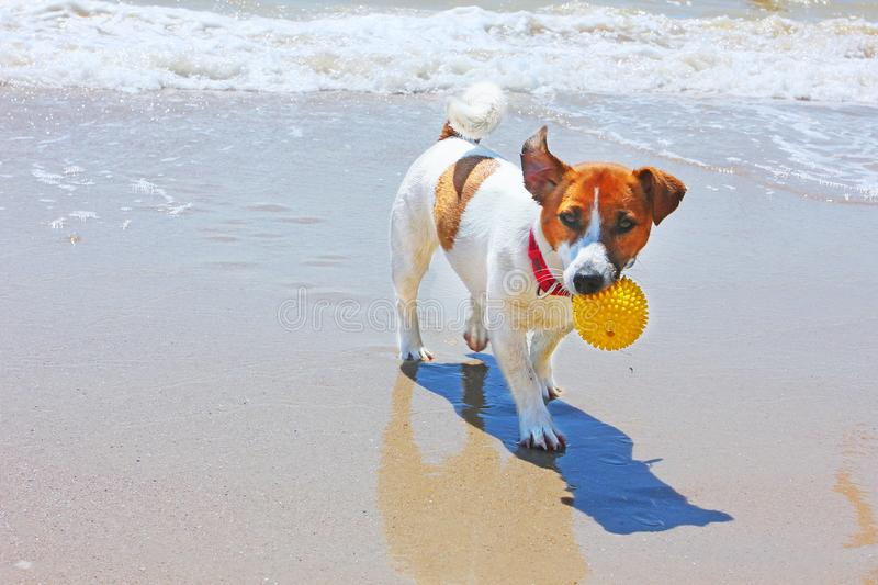 Happy jack russell terrier carries in the mouth a ball that pulled out of the sea royalty free stock photos