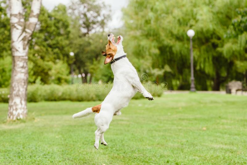 Happy Jack Russell Terrier dog jumping and playing at park lawn. Jack Russell Terrier dog catching something stock photography