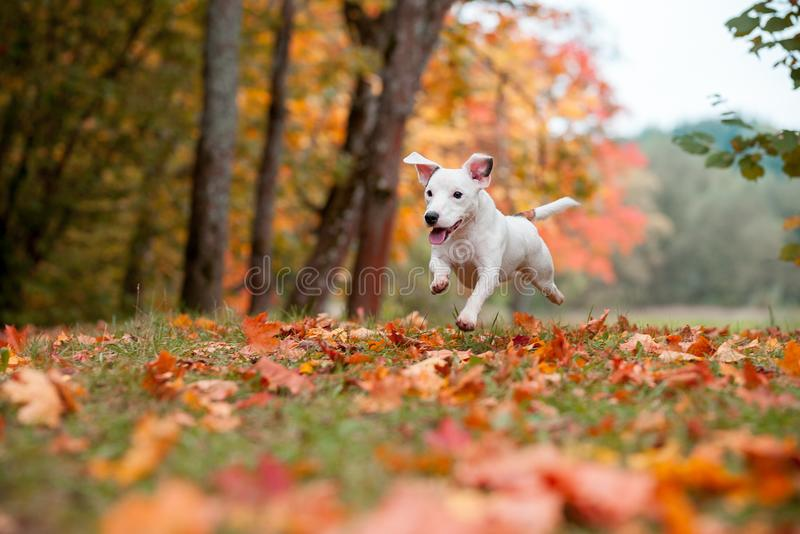Happy Jack Russell Terrier Dog Lying on the Grass. Autumn Leaves in Background. Happy Jack Russell Terrier Dog Lying on the Grass royalty free stock photo