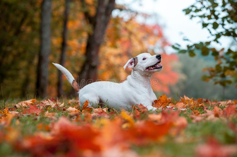 Happy Jack Russell Terrier Dog Lying on the Grass. Autumn Leaves in Background stock image