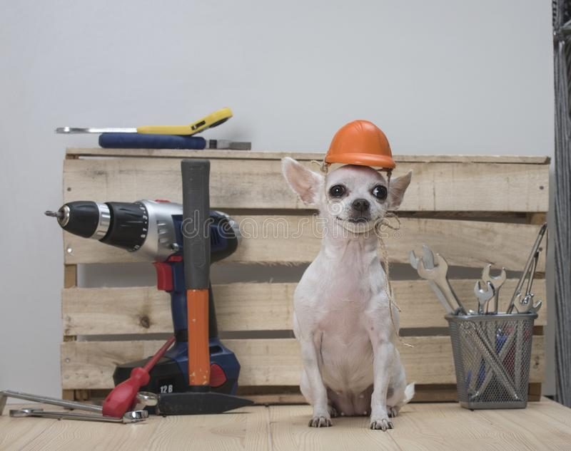 Happy Labor day. Construction tools. A dog of the Chihuahua breed royalty free stock images