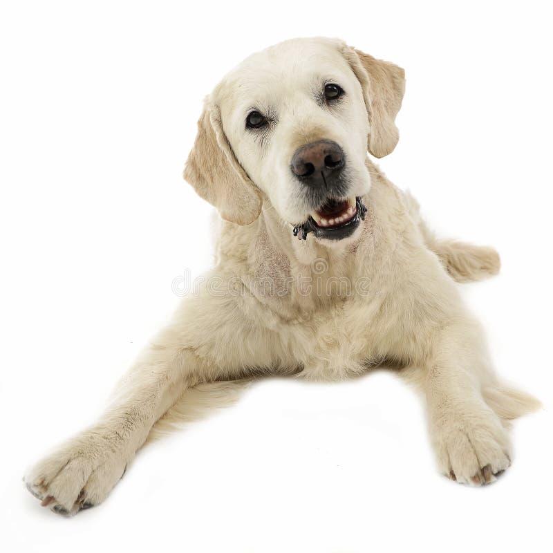 Happy labrador retriever posing in a white photo studio royalty free stock image