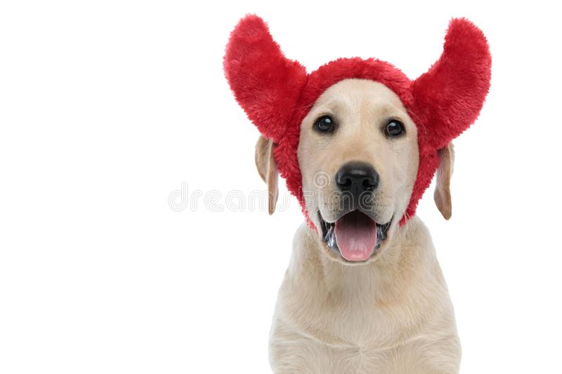 Happy labrador retriever puppy dog wearing devil horns for halloween. Panting on white background stock photography