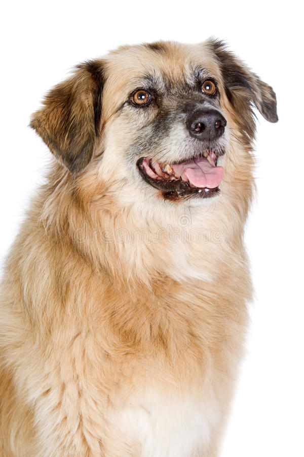 Download Happy Large Crossbreed Dog stock image. Image of looking - 10025735