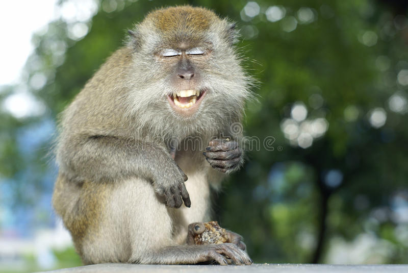 Happy laughing macaque monkey royalty free stock photos