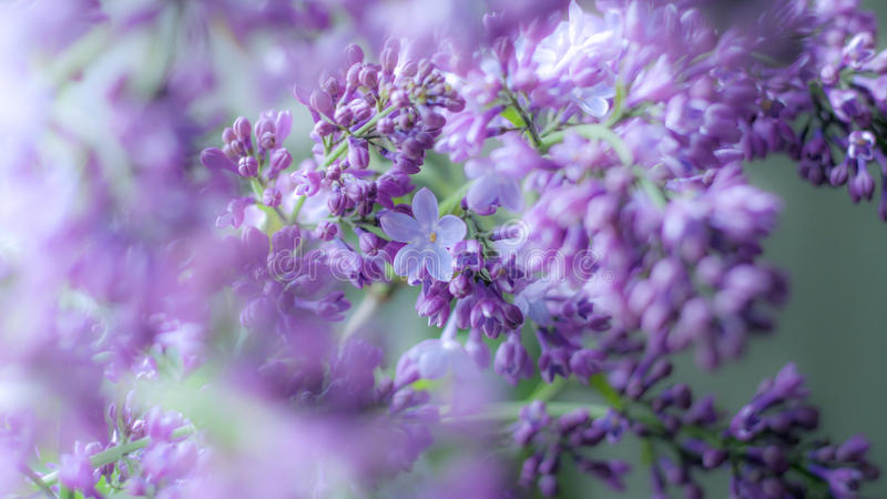 Happy lilac royalty free stock image