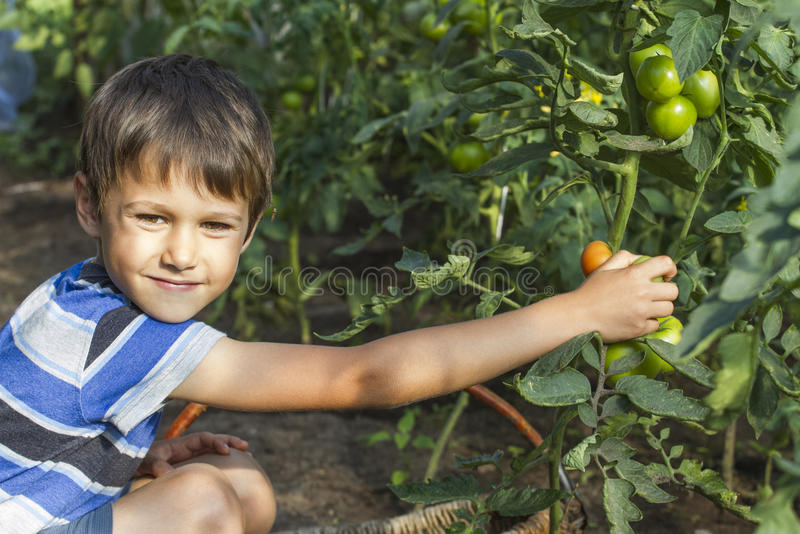 Happy little boy picking fresh tomatoes vegetables in greenhouse. Family, gardening, lifestyle concept royalty free stock photography