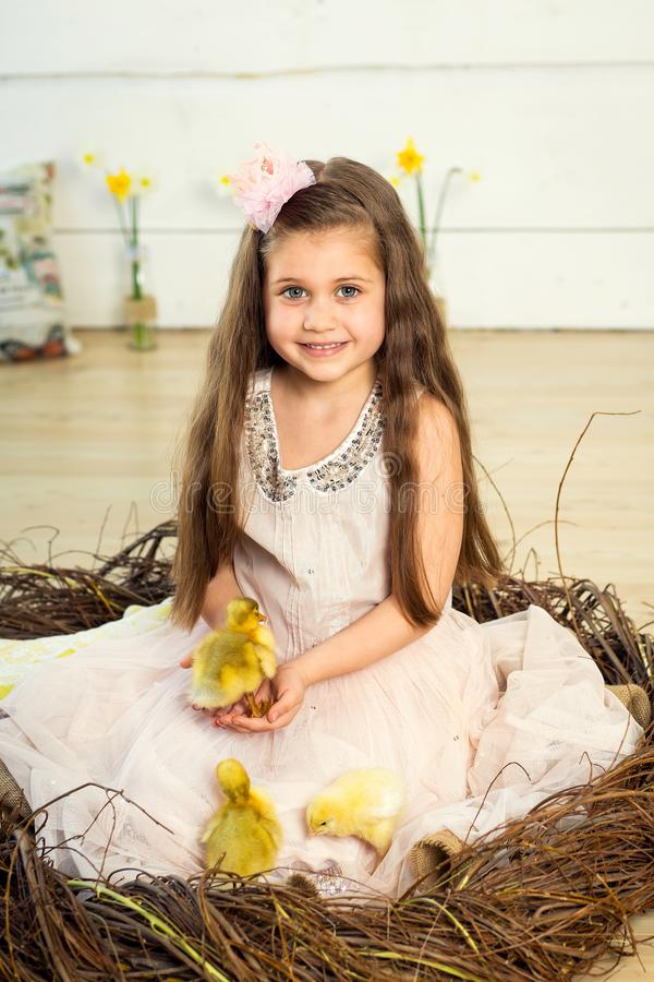 Happy little girl in a dress sits in a nest and holds cute fluffy easter ducklings on her hands.  royalty free stock photography