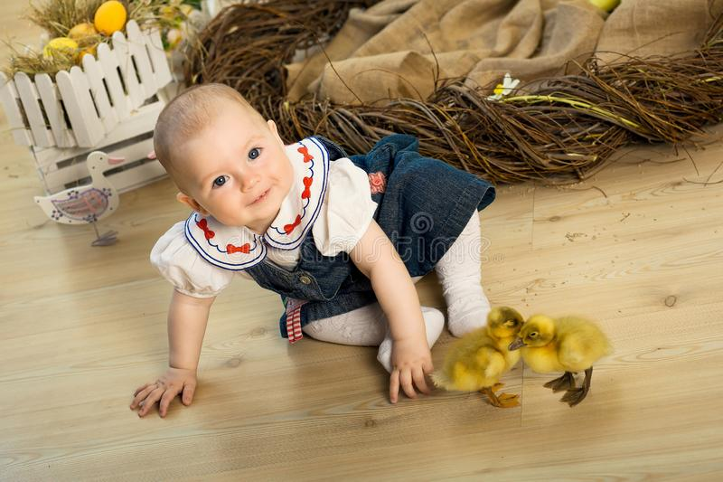 Happy little girl is played with cute fluffy easter ducklings.  royalty free stock image