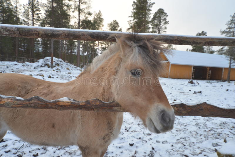 Happy Little horse in Finland& x27;s winter stock photos