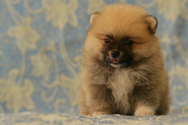 Happy little Pomeranian puppy is sitting on blue sofa. 2 month old stock image