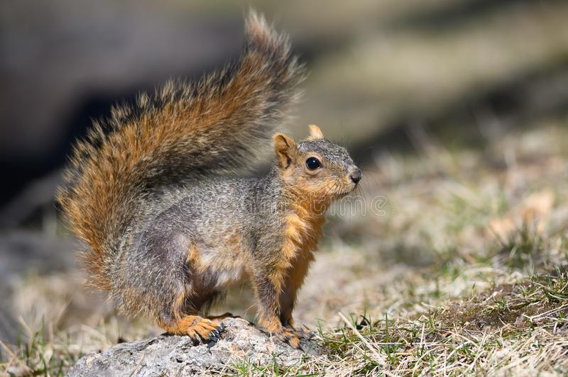 Happy Little Red Squirrel Standing on the Grass. Happy Little Red Squirrel Standing on the Dried Grass stock photo