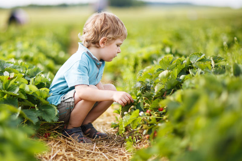 Happy little toddler boy on pick a berry farm picking strawberries in bucket.  royalty free stock photo