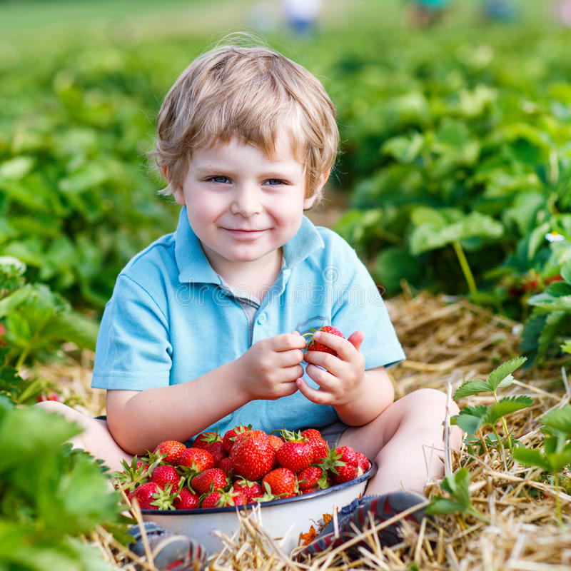 Happy little toddler boy on pick a berry farm picking strawberries in bucket. Outdoors. Funny kid eating fresh organic berries. On sunny warm summer day stock photography