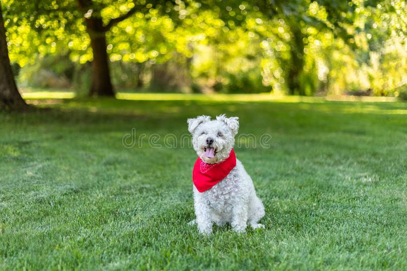 Happy little white dog with red bandana sitting in the grass in the park stock image
