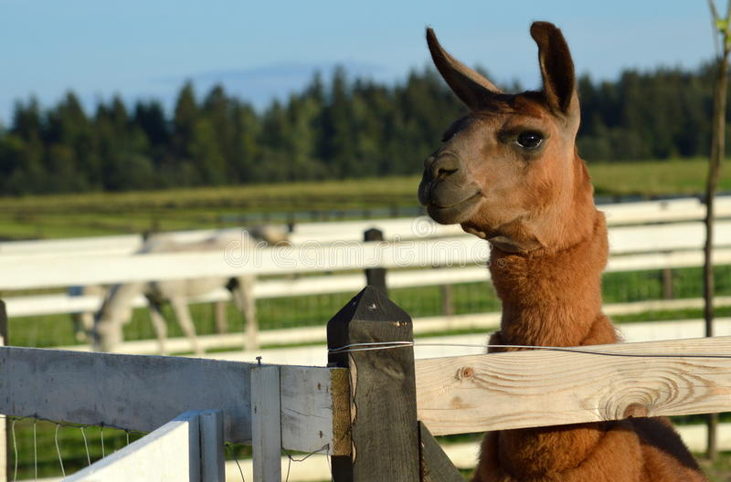 Happy llama royalty free stock image