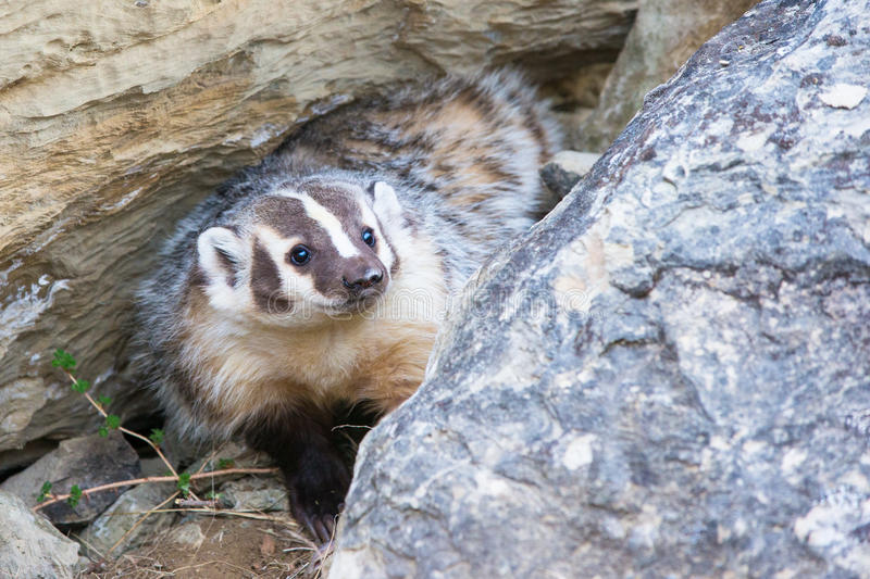 Happy looking badger. By his den royalty free stock photo