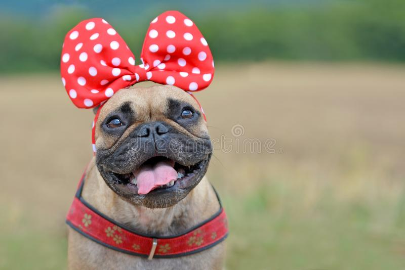 Happy looking fawn French Bulldog dog girl with smiling face with tounge out and big red ribbon on head. Happy looking fawn French Bulldog dog girl with smiling royalty free stock photos