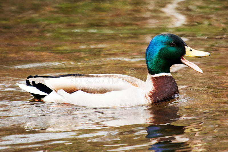 Happy Mallard in the water royalty free stock photography