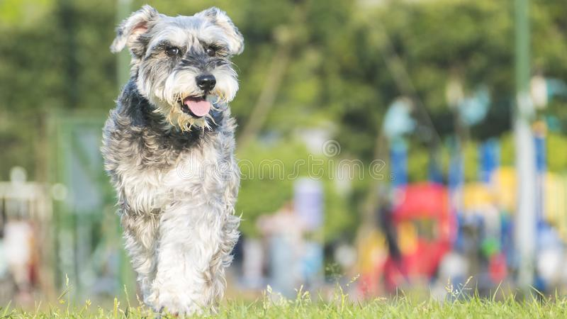 Happy miniature, schnauzer puppy running with nice background co stock photo