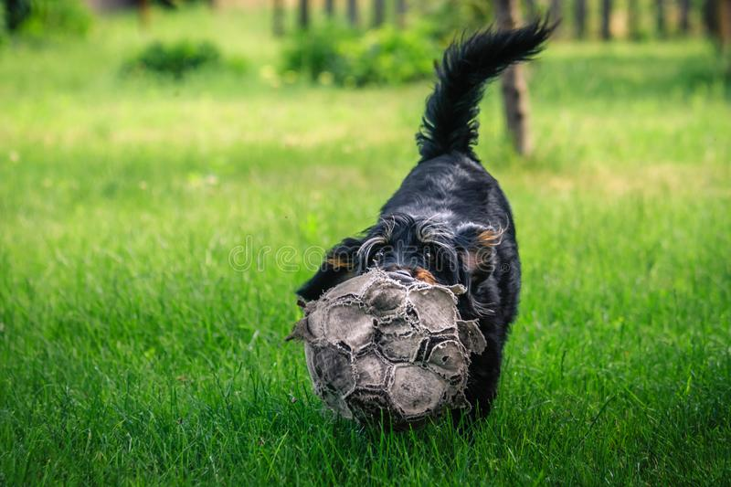 Happy mixed breed dog playing with a ball in the green, sunny garden stock photos