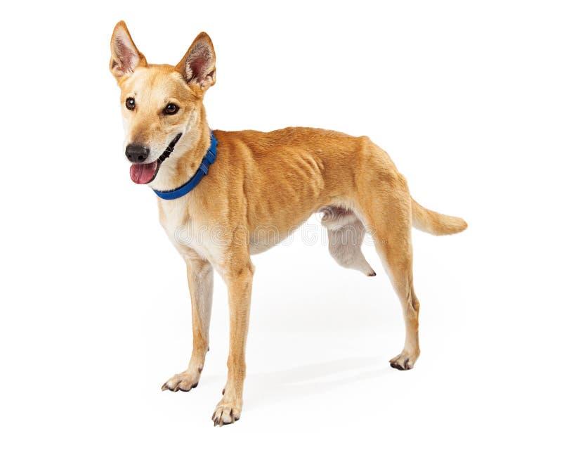 Happy Mixed Breed Three-Legged Dog royalty free stock photo