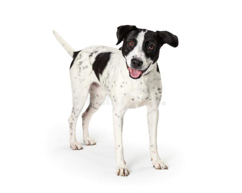 Happy Mixed Large Breed Dog White Black Spots royalty free stock images