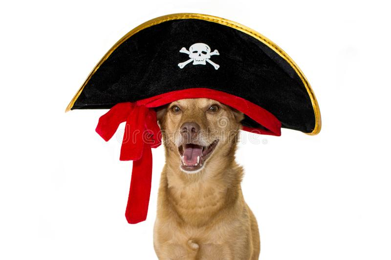 HAPPY MIXEDBREED DOG DRESSED IN A PIRATE HALLOWEEN OR CARNIVAL stock images