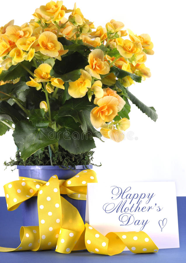 Happy Mothers Day beautiful yellow Begonia potted plant gift with yellow flowers stock image