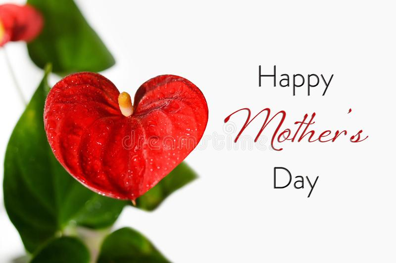 Happy Mothers Day card. Red flamingo flowers isolated on white. Background stock image