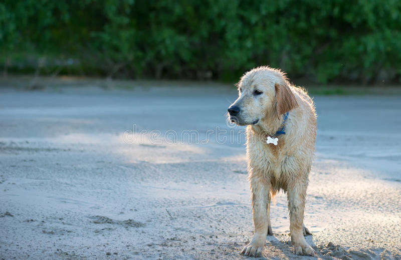 Happy, muddy, and wet golden retriever in the outdoors stock image