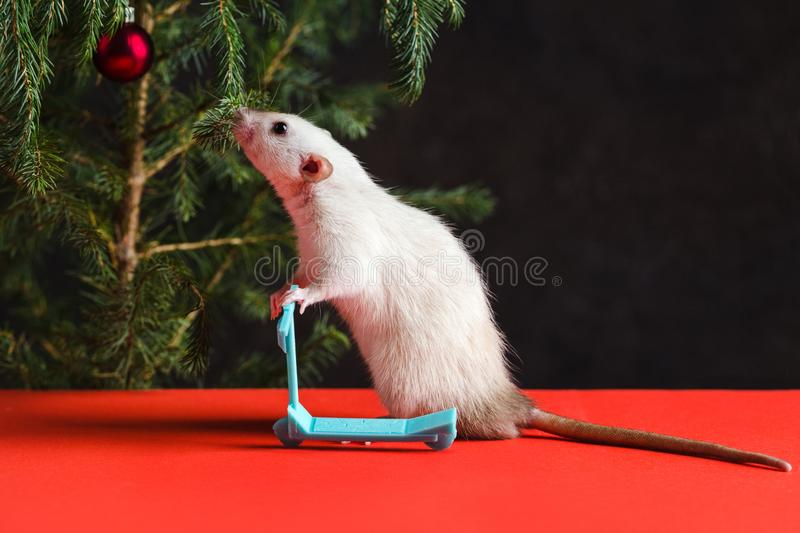 Happy New Year 2020. Christmas composition with a real rat, symbol of the year. Rat on a mini stock photography