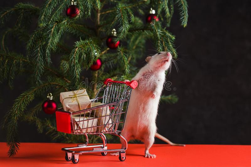 Happy New Year 2020. Christmas composition with a real rat, symbol of the year. A rat near a stock image