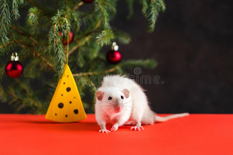 Happy New Year 2020. Christmas composition with a real rat, symbol of the year. Rat at the Christmas stock photo