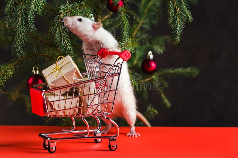 Happy New Year 2020. Christmas composition with a real rat, symbol of the year. A rat near a royalty free stock photo