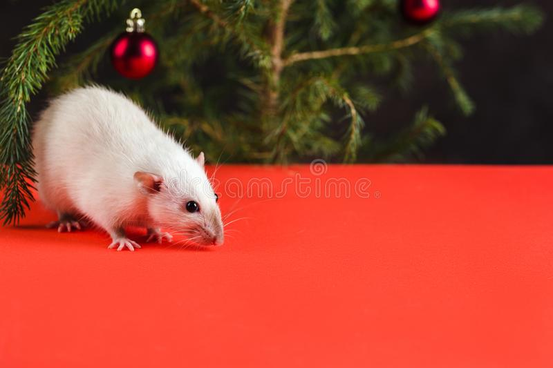 Happy New Year 2020. Christmas composition with a real rat, symbol of the year. A rat on red table stock image