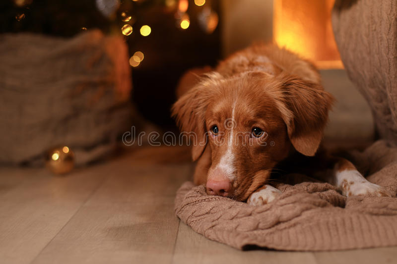 Happy New Year, Christmas, Dog Nova Scotia Duck Tolling Retriever, holidays and celebration. Pet in the room the Christmas tree stock photo