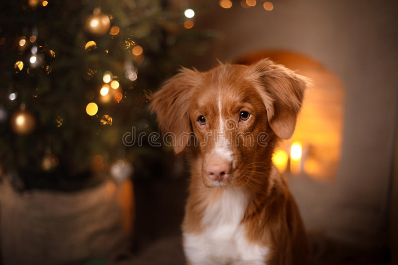 Happy New Year, Christmas, Dog Nova Scotia Duck Tolling Retriever, holidays and celebration. Pet in the room the Christmas tree stock photography