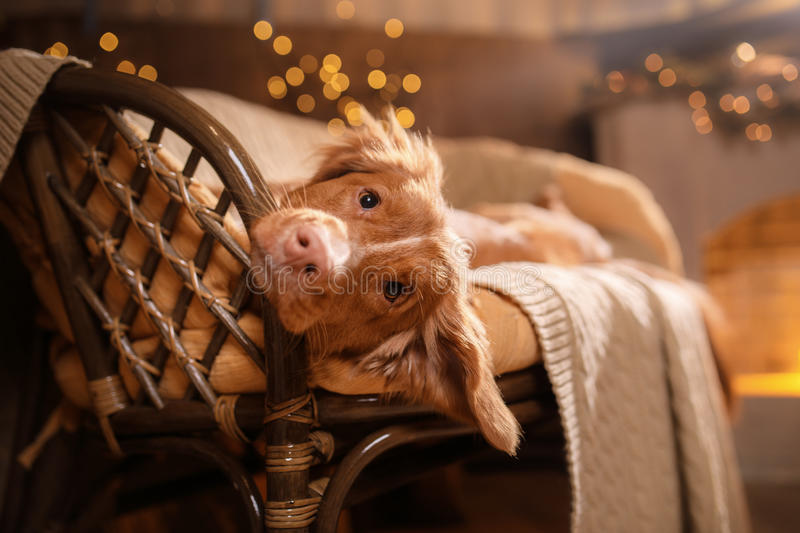 Happy New Year, Christmas, Dog Nova Scotia Duck Tolling Retriever, holidays and celebration. Pet in the room the Christmas tree royalty free stock images