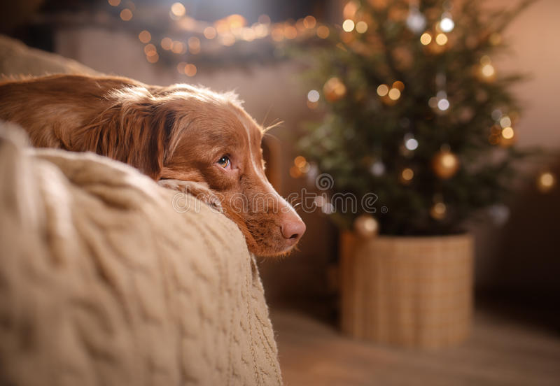 Happy New Year, Christmas, Dog Nova Scotia Duck Tolling Retriever, holidays and celebration. Pet in the room the Christmas tree royalty free stock photo