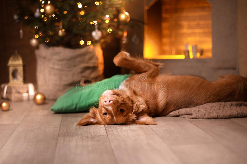 Happy New Year, Christmas, Dog Nova Scotia Duck Tolling Retriever, holidays and celebration. Pet in the room the Christmas tree stock photos