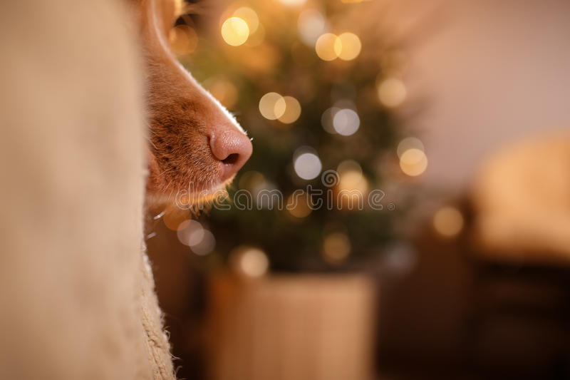 Happy New Year, Christmas, Dog Nova Scotia Duck Tolling Retriever, holidays and celebration. Pet in the room the Christmas tree stock image