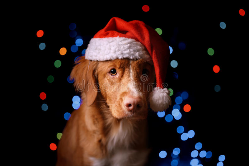 Happy New Year, Christmas, Dog in Santa Claus hat. Nova Scotia Duck Tolling Retriever. holidays and celebration royalty free stock photo
