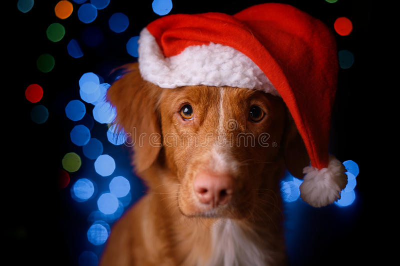 Happy New Year, Christmas, Dog in Santa Claus hat. Nova Scotia Duck Tolling Retriever. holidays and celebration stock photo