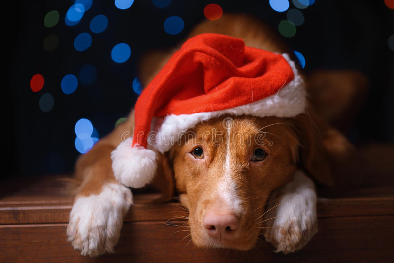 Happy New Year, Christmas, Dog in Santa Claus hat. Nova Scotia Duck Tolling Retriever. holidays and celebration royalty free stock image
